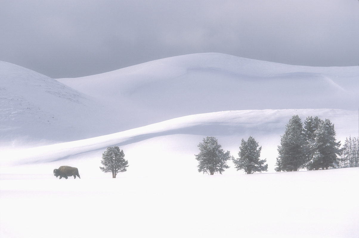 Lone bison in Hayden Valley